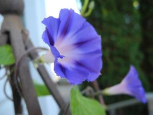 morning glories...